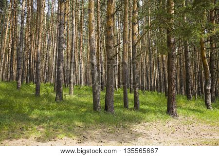 Pine forest in a sunny summer day
