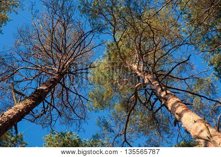 Two pine trees agains blue sky in the autumn