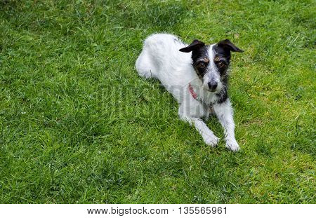 Jack Russell terrier cross dog lying on grass looking up at camera.