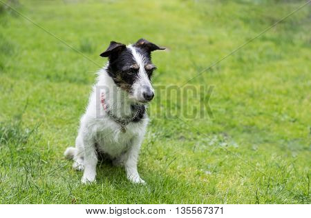 Jack Russell terrier cross dog sitting on grass looking thoughtful.