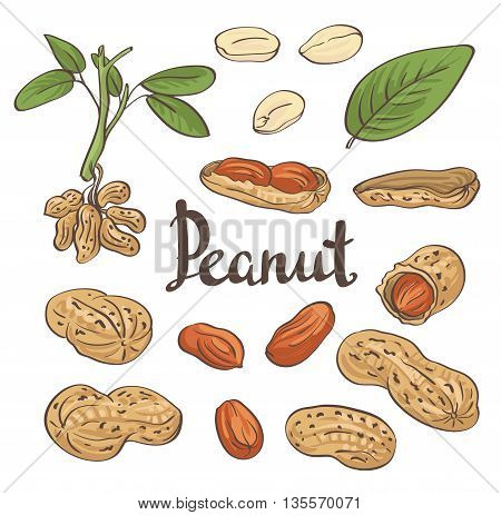 Peanuts kernels and leaves. Hand-drawn vector illustration.
