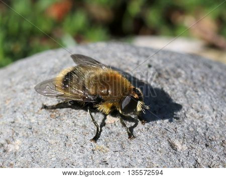 Garden Pest: A Narcissus Bulb Fly on Rock