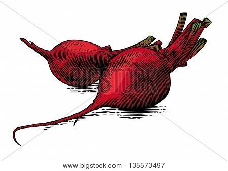 Drawing of two raw whole beetroots on the white background