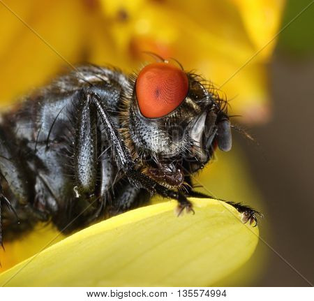 Common housefly ugly face close-up macro portrait