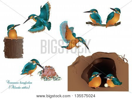 It is illustration of life of common kingfisher.