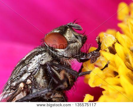 Common housefly in flower close portrait macro