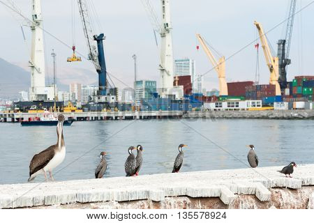 Tower cranes at the port of Iquique with autochthonous wild birds in the foreground Iquique Chile