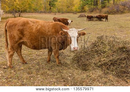 herd of cows in the autumn meadow
