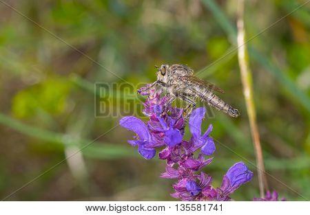 Assassin fly sitting on wild sage flower