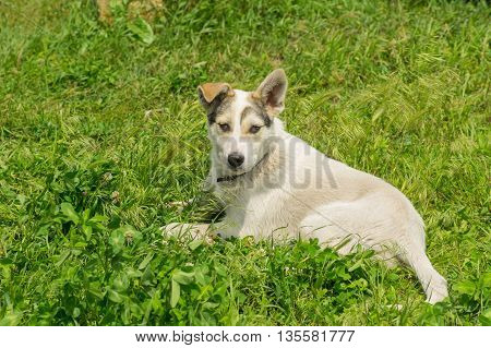 Adorable mixed breed young dog resting in fresh summer grass