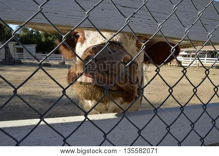 Funny cow looking at the camera through a fence at a farm. Selective focus. Narrow depth of field.