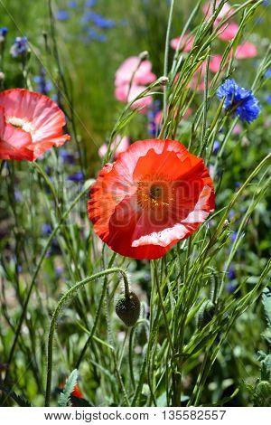 Colorful Poppy Flower Blooms in Wildflower Field