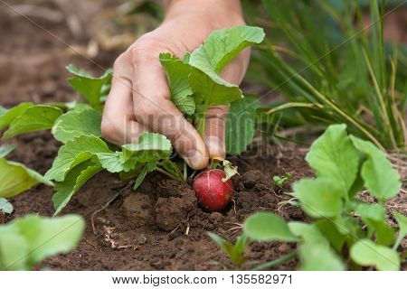 hands pulling radishes in vegetable garden closeup