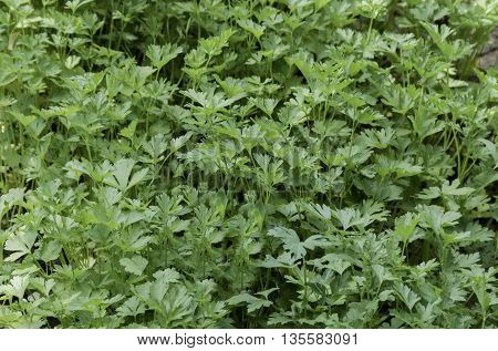 Organic farming of parsley  or Petrosilium sativum bed in the vegetable garden,  Zavet town, Bulgaria