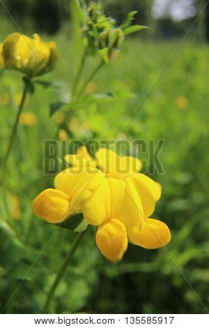 Blossom Macro Shot Of Birds-foot Trefoil (lotus Dorniculatus)