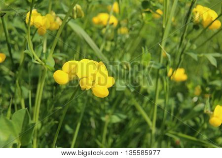 Blossom Macro Shot Of Birds-foot Trefoil (lotus Dorniculatus)