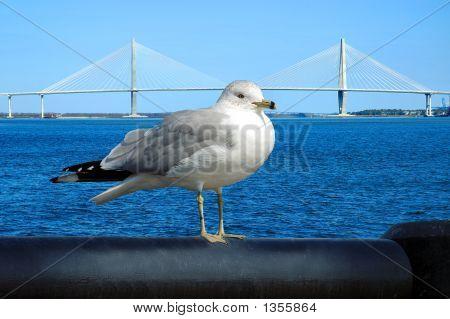 Susp Bridge Gull