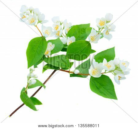 Jasmine fresh flowers and leaves twig isolated on white background