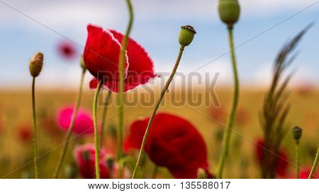 Close up of red poppy on the green field with wheat.