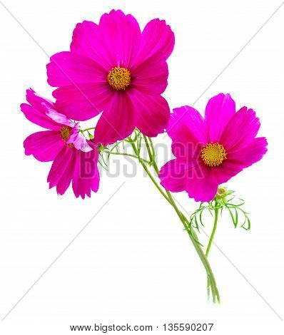 Three Cosmos dark pink flowers isolated on white background