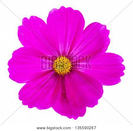 One Cosmos dark pink flower isolated on white background