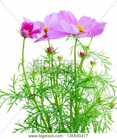Cosmos fresh pink flowers isolated on white background
