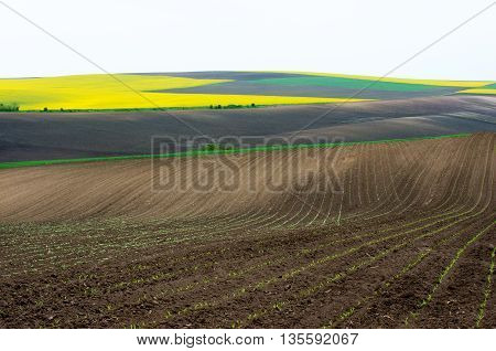 Agricultural fields sown with colza, sunflower and wheat young.
