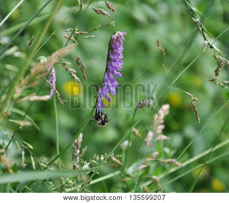 purple wildflowers and a bee collects nectar