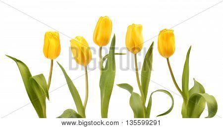 Set Of Five Yellow Tulips
