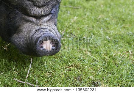 Close up pf big old pig on a pasture