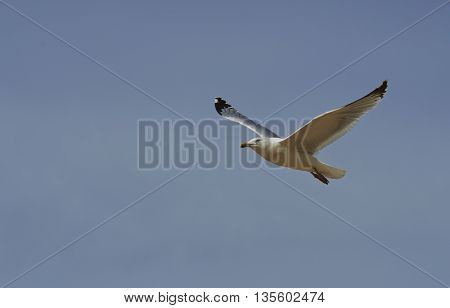 Seagull bird showing wing spread in flight on blue sky background