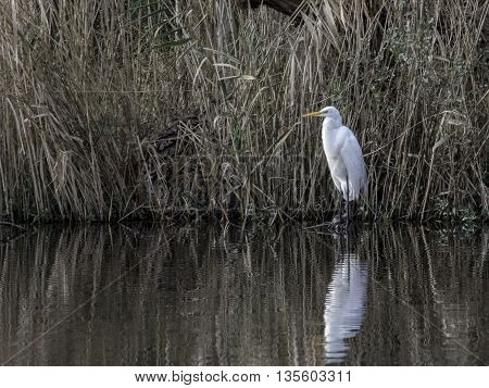 Great White Egret Standing By The Shore At Mattamuskeet National Wildlife Preserve