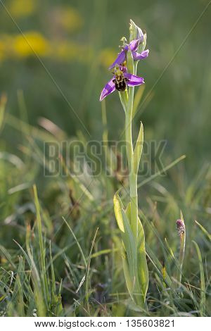 Bee Orchid (Ophrys apifera) flowering in a Dune Valley in late evening light