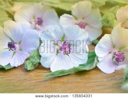Althaea Officinalis Marshmallow.