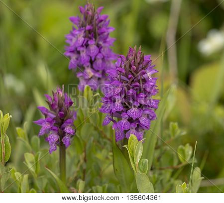Three Southern Marsh Orchids (Dactylorhiza praetermissa) flowering in a Dune Valley between the vegetation
