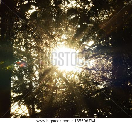 The sun shining through a wall of branches in the evening.