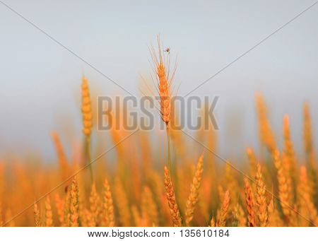 Golden wheat ears under twilight