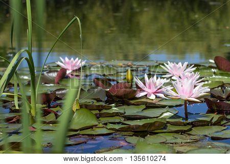 Water Lily Flower On Lake - Lake Landscape
