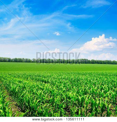 Bright corn field and blue sky