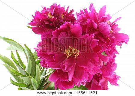 Bouquet of dark pink peonies on white background