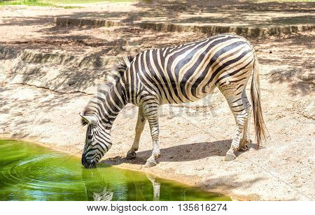 Binh Duong, Vietnam - June 5th, 2016: Zebras drinking beside a stream with black skin white, interwoven to create beauty in body in the wild, this animals should be preserved in nature in Binh Duong, Vietnam