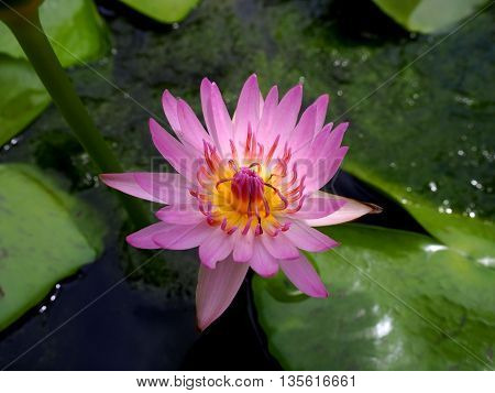 A Pink Lotus flower or waterlily in pond