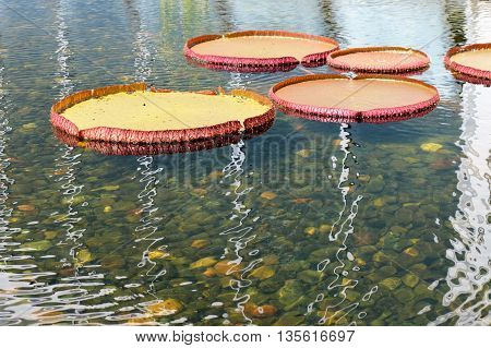 Giant lily pads floating on the water