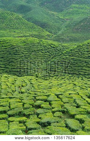 View Of Tea Leaves Plantation In Cameron Highlands Malaysia