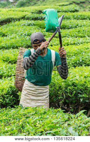 Cameron Highlands, Pahang Malaysia -CIRCA June 2016: Male Worker Picking Tea Leaves at Tea Plantation
