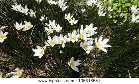 White Zephyr Lily Flower / Zephyranthes Candida