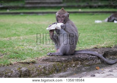 Little young monkey sitting while eaing peace of white paper in Monkey Forest, Ubud, Bali