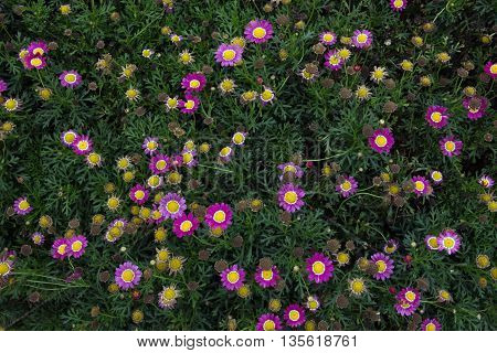 A Bunch of Colorful Pink Daisy Flower