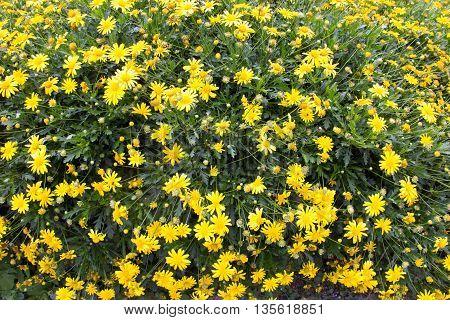 Yellow chrysanthemum flower (Chrysanthemum morifolium). Yellow chrysanthemums.