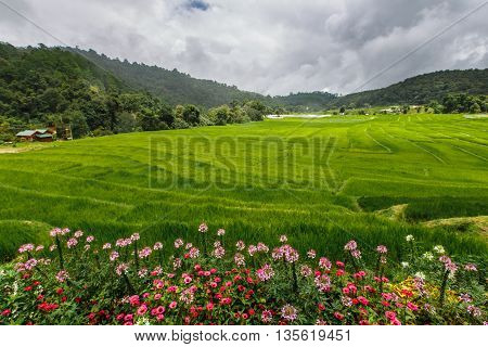 Green Rice Field Terrace  With Pathway On Mountain With Flowers  Foreground